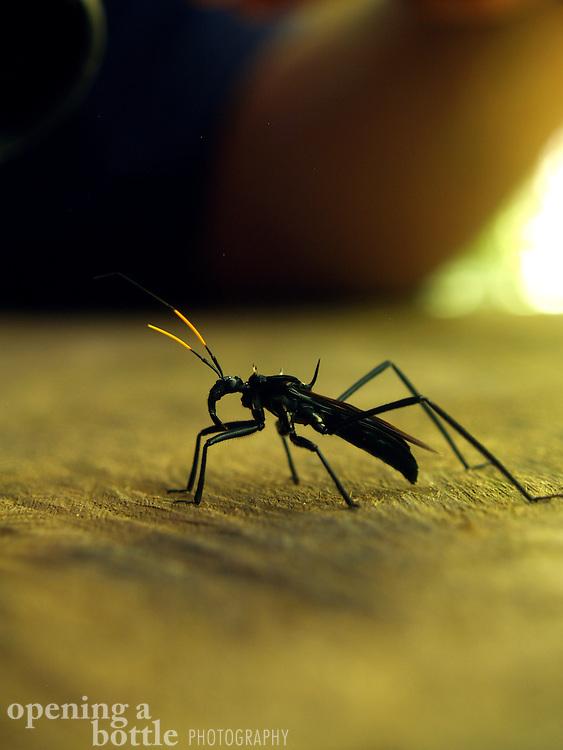 A massive insect perched in a bird blind, Napo Wildlife Center, Ecuador.