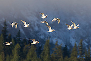 A flock of gulls flies over the Squamish River in Brackendale, British Columbia, Canada. Mount Thyestes, covered in fresh snow, is visible in the background.