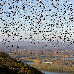 """""""The Oxbow"""" and the Connecticut River as seen from the Skinner Mountain House in Hadley, Massachusetts.  Grackles fill the sky.  Skinner State Park.  Mount Holyoke. New England Trail"""