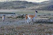 Guanacos (Lama guanicoe)  walking across dry grassland. . Torres del Paine National Park, Republic of Chile 19Feb13