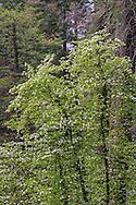 Dogwood blossoms in spring, Yosemite Valley, Yosemite National Park, California