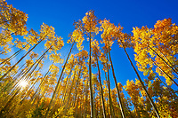 The early morning sun shines through yellow aspen leaves during peak fall foliage with a clear blue sky in the Sangre de Cristo Mountains in Santa Fe, New Mexico.