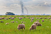 Sheep grazing in field with industrial smoke emissions in background. Delano, Kern County, San Joaquin Valley, California, USA
