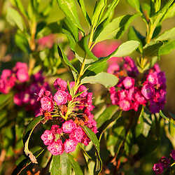 Sheep laurel, Kalmia angustifolia, on the shoreline of Little Berry Pond in Maine's Northern Forest. Cold Stream watershed, Johnson Mountain Township.