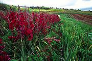 Flower Farm, Kula, Maui, Hawaii<br />