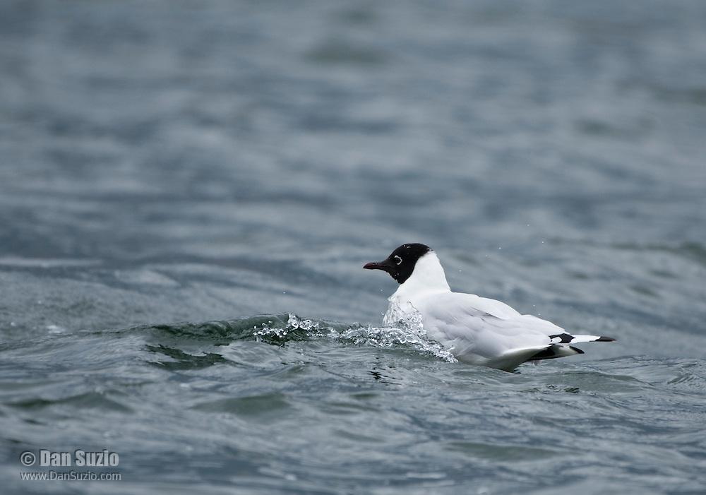 Andean Gull, Larus serranus, swimming on San Pablo Lake, Ecuador