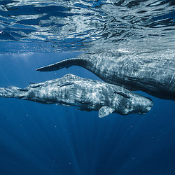 cachalots, spermwhale, Physeter macrocephalus, mère et petit, mother and calf