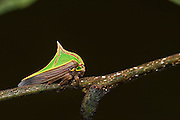 Thorn Mimic Treehopper (Umbonia sp.)<br /> Mapari<br /> Rupununi<br /> GUYANA<br /> South America