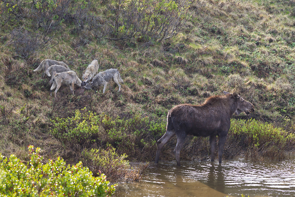 A moose cow watches as her calf is dragged away by wolves from the Grant Creek Pack,  Denali National Park, Alaska