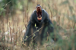 July 7, 2015 - Chacma Baboon, Kruger National Park, South Africa  (Credit Image: © Spillner, G/DPA/ZUMA Wire)