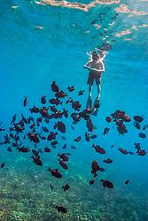 black triggerfish or black durgon, Melichthys niger, schooling, Kealakekua Bay, Big Island, Hawaii, USA, Pacific Ocean