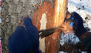 Photo Randy Vanderveen.Grande Prairie, Alberta.Bark on a Mountain Pine Beetle infected tree is shaved off using a peel knife.