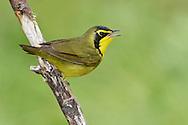 Kentucky Warbler - Oporornis formosus - male