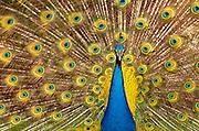 Image of a peacock at Magnolia Plantation and Gardens, Charleston, South Carolina, American Southeast by Randy Wells
