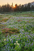 Sunset over Mount Rainier Paradise wildflower meadows. Containing a mixture of Western Anemone, Broadleaf Lupines, Pink Mountain Heather, and American Bistort. Mount  Rainier National Park, Washington