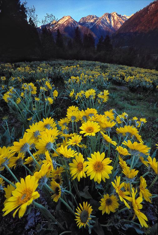 Balsamroot wildflowers, morning light, April, Alpine Lakes peaks in the distance, Leavenwsorth, Washington, USA