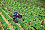 Grape Harvester, Pindar Vineyards, Peconic, New York,