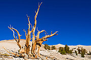 Ancient Bristlecone Pines (Pinus longaeva) in the Patriarch Grove, Ancient Bristlecone Pine Forest, White Mountains, California USA