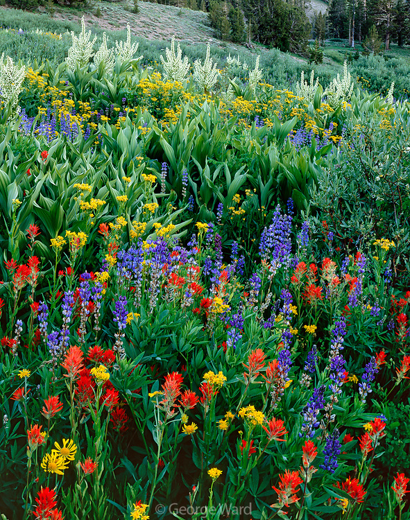 Lupine, Paintbrush, Groundsel and Corn Lily, Carson-Iceberg Wilderness, Stanislaus National Forest, California