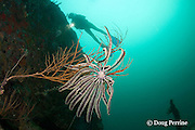 diver and crinoid or feather star on the wreck of the San Quentin or San Quintin, a Spanish gunboat sunk in 1898 during the Spanish-American War between Grande and Chiquita Islands at the entrance to Subic Bay, Philippines; wreckage is scattered over a reef at a depth of 9-18 m;<br /> MR 379