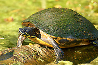 Common Cooter  Green Cay Nature Area Delray Beach Florida USA
