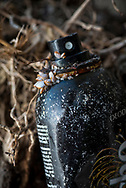 Madang, Papua New Guinea - August 2, 2017: A form of gooseneck barnacle, lepas anatifera, is attached to a can of deodorant washed up on a beach at Kranket Island, off the coast of Madang.