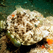 Planehead Filefish inhabit rocky reefs and rubble strewn sand bottoms in Tropical West Atlantic; picture taken Blue Heron Bridge, Palm Beach, FL.