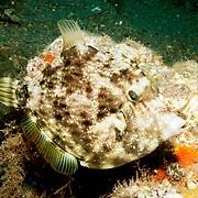 Planehead Filefish inhabit rocky reefs and rubble strewn sand bottoms in Tropical West Atlantic; picture taken Blue Heron Bridge, Palm Beach, FL.