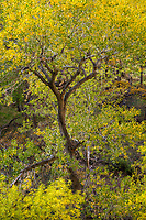 A singled out cottonwood tree in the canyon of Zion National Park during the approach of peak Fall colors as it shines in the morning sunlight.