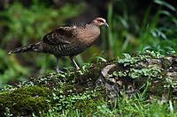 Mrs. Hume's pheasant, Syrmaticus humiae, female bird walking on ground in Baihualing, Gaoligongshan, Yunnan, China