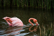 Greater flamingo (Phoenicopterus roseus) <br /> Punta Moreno, Isabela Island<br /> GALAPAGOS ISLANDS,<br /> Ecuador, South America