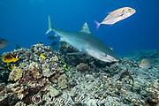 tiger shark, Galeocerdo cuvier, swims over reef with bluefin trevally or omilu, Caranx melampygus, racoon butterflyfish, Chaetodon lunula, and other reef fish, Honokohau, Kona, Big Island, Hawaii, USA ( Central Pacific Ocean )
