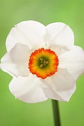 Narcissus 'Felindre'