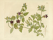 hand painted Botanical illustration of flower details leafs and plant from Collectaneorum Supplementum by Nicolai Josephi Jacquin Published 1796. Figure 12