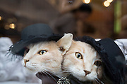 Two headed cat in a shop window of a shoe store in central London, UK. Weird window dressing like this is common amongst boutique shops, and this strange hat wearing beast is no exception.