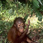 Orangutan, (Pongo pygmaeus) Young sitting on forest floor playing with stick. Northern Borneo.Malaysia. Controlled Conditons.