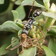 Myrmecia nigrocincta, commonly known as the jumper ant or jumping jack, is an ant of the genus Myrmecia. Colonies of this ant are abundant in eastern Australia. Ants of this species are known for their ability to jump up to 10 centimetres, and they also have a powerful, venomous sting. Rather than foraging on the ground, M. nigrocincta prefer to forage in trees where they are known to pollinate certain flowers.<br /> <br /> This ant is a large species, some workers can grow to over 15 mm (0.6 in) in length. They have a distinctive pattern of orange-red and black which distinguishes them from other Myrmecia species. <br /> <br /> Victoria, Australia