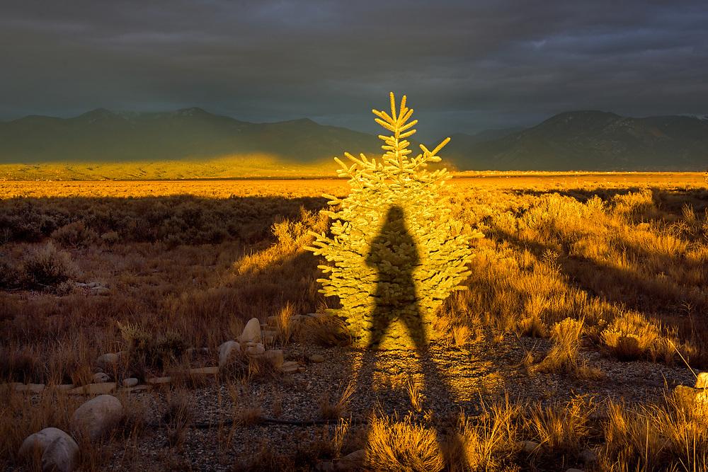Pine tree, Christmas tree, on the Taos mesa, El Prado, New Mexico