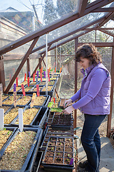Pricking out seedlings into module trays on a bench in a greenhouse