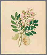 Schotia Nov. Sp. [Schotia latifolia] weeping boer-bean, from a collection of ' Drawings of plants collected at Cape Town ' by Clemenz Heinrich, Wehdemann, 1762-1835 Collected and drawn in the Cape Colony, South Africa