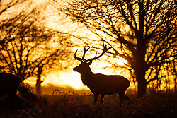 © Licensed to London News Pictures. 13/01/2016. London, UK. Deer lock antlers at sunrise in Richmond Park in London following one of the coldest nights in a year as temperatures in the capital drop as low as -1C on Wednesday, 13 January 2016. Photo credit: Tolga Akmen/LNP