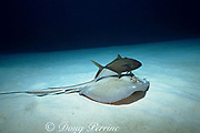 barjack, Caranx ruber, follows southern stingray, Hypanus americanus, formerly Dasyatis americana, to pick up scrapes when it feeds, Bahamas ( Western Atlantic Ocean )