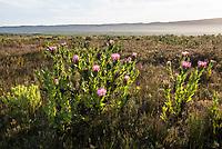 Protea compacta, Agulhas National Park, Western Cape, South Africa