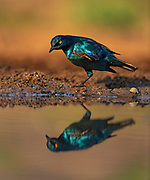 """""""Karate Starling"""", greater blue-eared starling (Lamprotornis chalybaeus) from Zimanga, South Africa."""