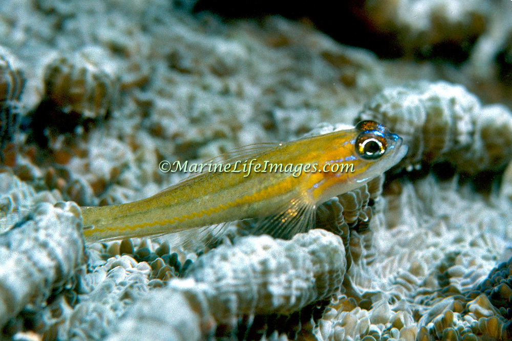 Peppermint Goby perch on coral heads in Tropical West Atlantic; picture taken Roatan, Honduras.