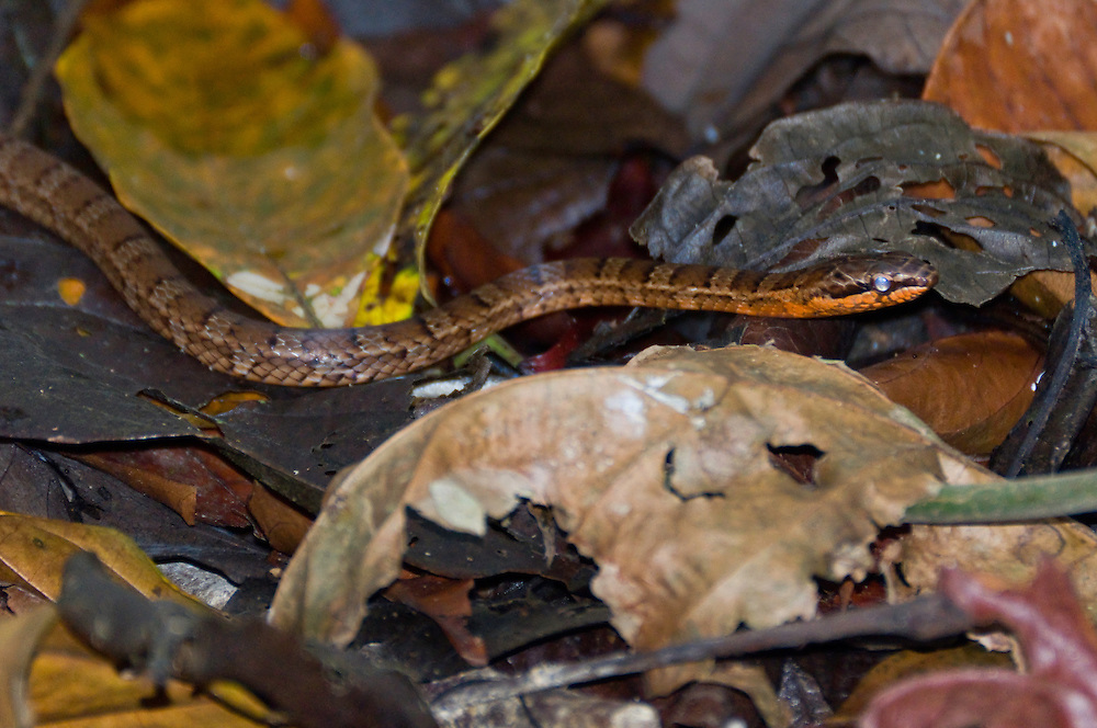 Snake, Corcovado National Park, Costa Rica.  April 2009.  (Photo/William Byrne Drumm)