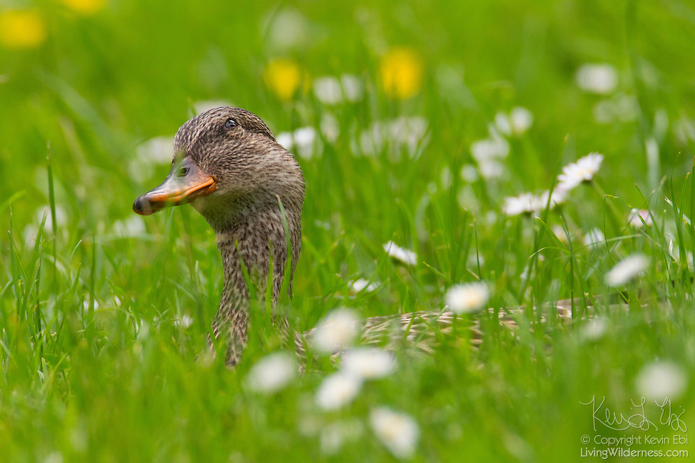 A female mallard duck (Anas platyrhynchos), surrounded by wildflowers, stretches its neck to look out from its hiding spot in the tall grass in the Washington Park Arboretum, Seattle, Washington.