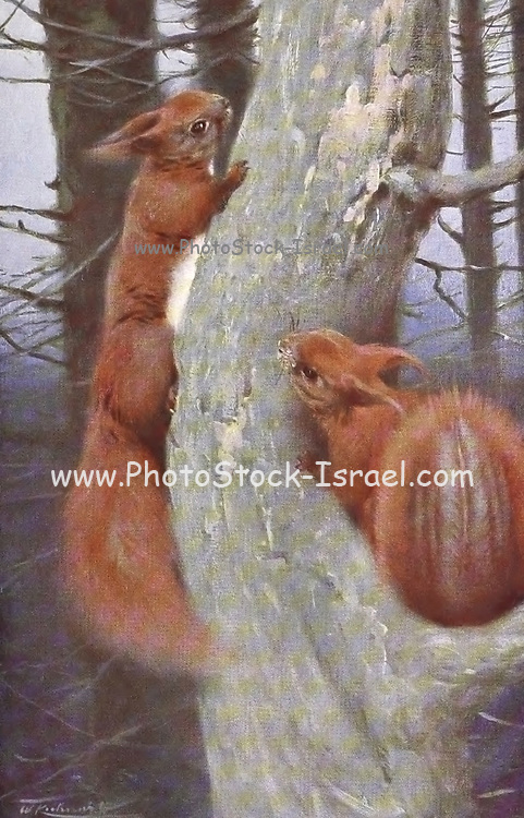 The red squirrel or Eurasian red squirrel (Sciurus vulgaris) is a species of tree squirrel in the genus Sciurus common throughout Eurasia. The red squirrel is an arboreal, primarily herbivorous rodent.  from the book '  Animal portraiture ' by Richard Lydekker, and illustrated by Wilhelm Kuhnert, Published in London by Frederick Warne & Co. in 1912