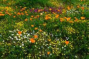 California Poppies (Eschscholzia californica) Owl's Clover (Castilleja exserta), and Goldfield (Lasthenia californica), Antelope Valley, California USA