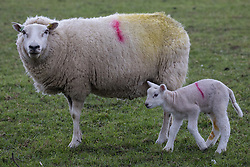 A ewe and a lamb are pictured close to Jones Hill Wood in the Chilterns AONB on 9th April 2021 in Wendover, United Kingdom. Tree felling work for the HS2 high-speed rail link began at Jones Hill Wood this week, in spite of the presence of resting places and/or breeding sites for pipistrelle, barbastelle, noctule, brown long-eared and natterer's bats, following the issue by Natural England of a bat licence to HS2's contractors on 30th March.